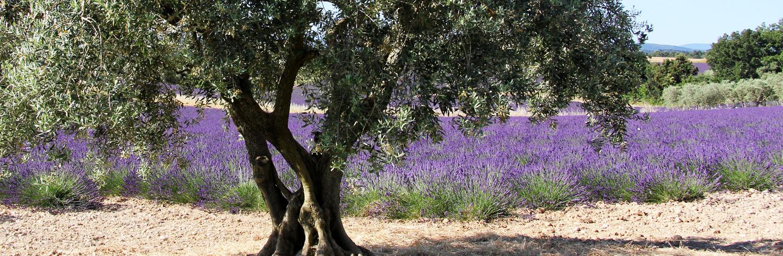 olivier sur le plateau de valensole
